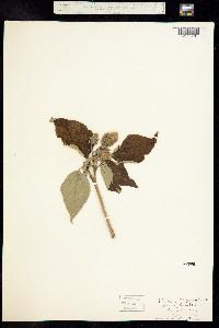 Image of Hibiscus moscheutos