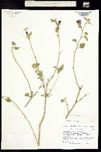 Image of Hibiscus phoeniceus