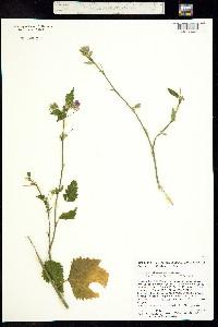 Hibiscus phoeniceus image