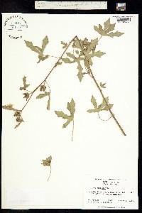 Image of Hibiscus aculeatus