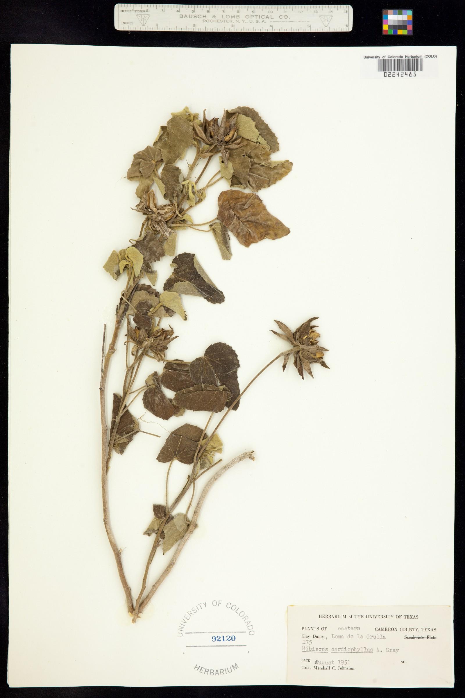 Hibiscus martianus image