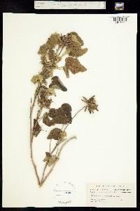 Image of Hibiscus martianus