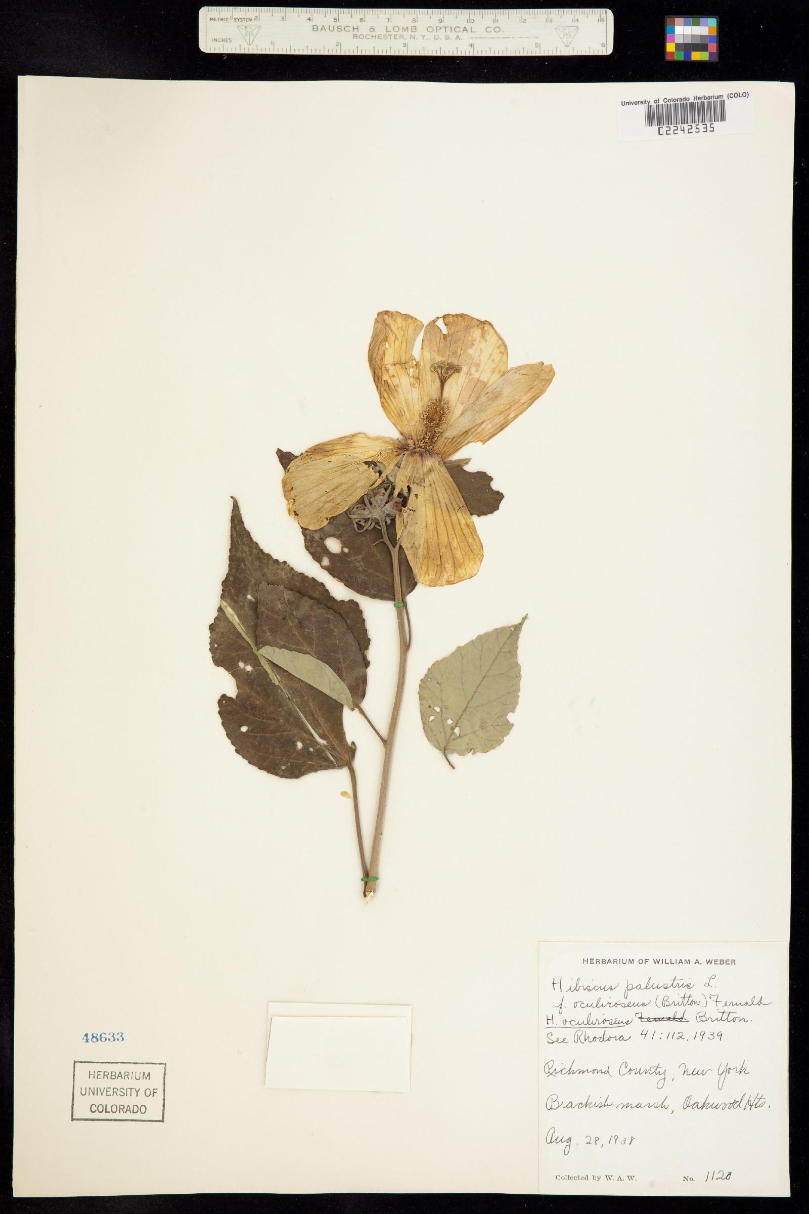Hibiscus palustris image