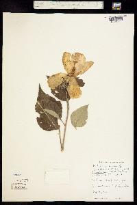 Image of Hibiscus incanus