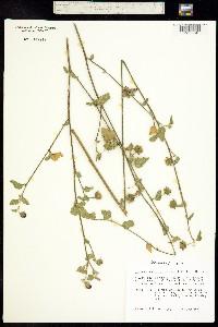 Image of Hibiscus poeppigii