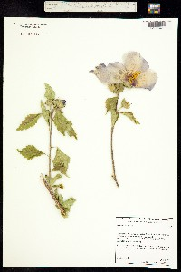 Image of Hibiscus syriacus