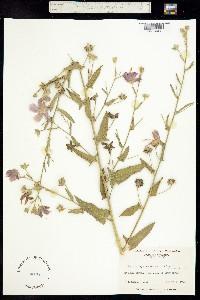 Image of Kosteletzkya pentacarpos
