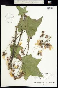 Image of Kosteletzkya paniculata