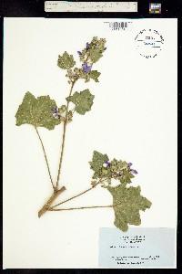 Lavatera arborea image