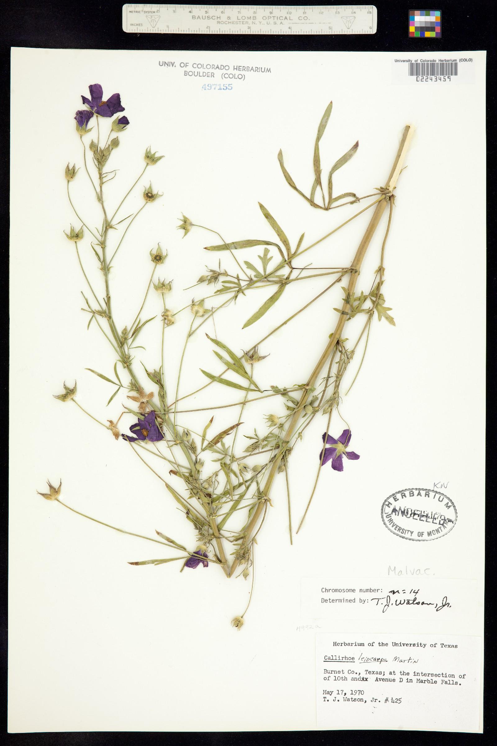 Callirhoe leiocarpa image