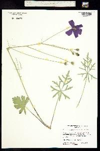 Image of Callirhoe pedata