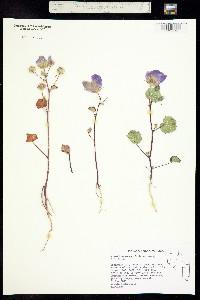 Image of Eremalche rotundifolia