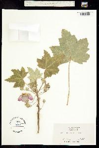 Image of Malva assurgentiflora