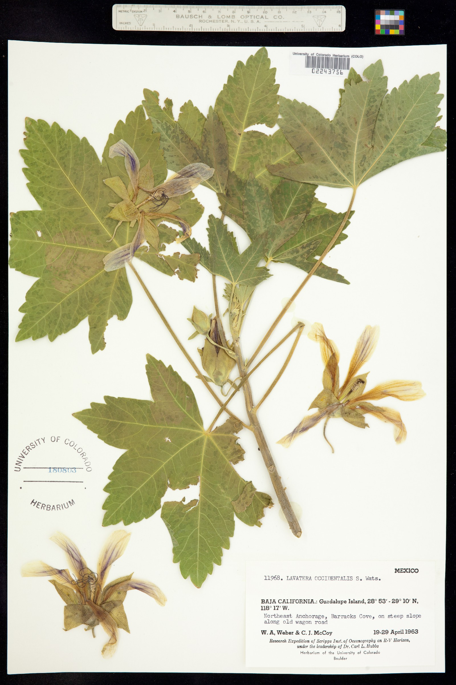 Malva occidentalis image