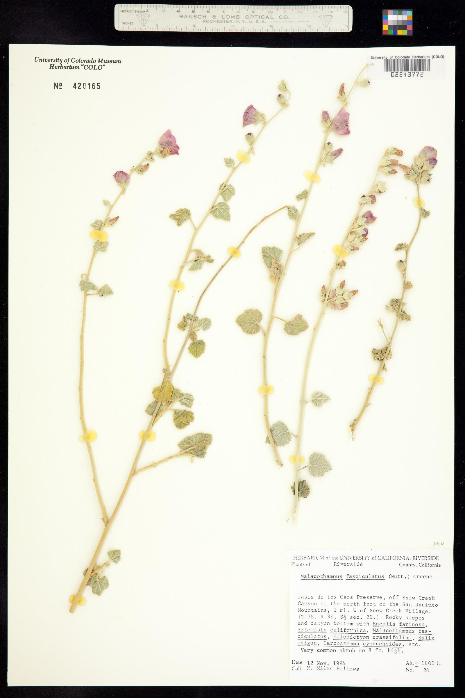 Malacothamnus fasciculatus image