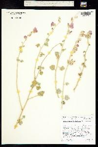Image of Malacothamnus fasciculatus