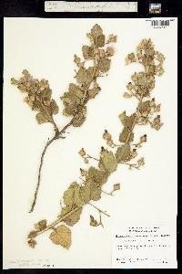 Image of Malacothamnus paniculatus