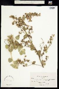 Malacothamnus foliosus image