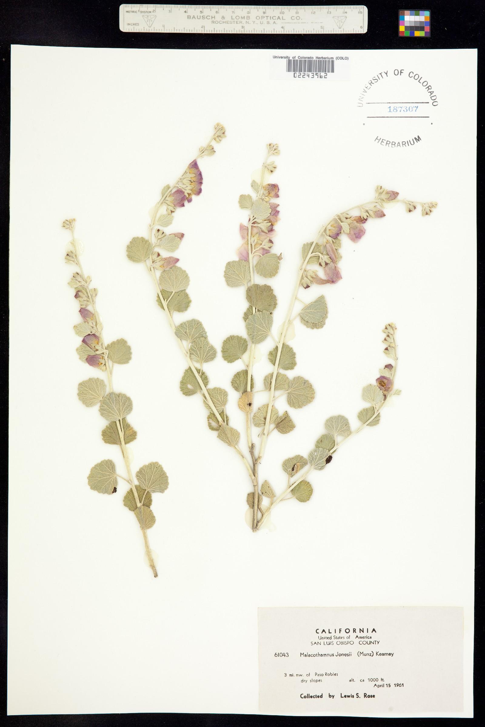 Malacothamnus jonesii image