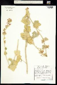 Malacothamnus fremontii image