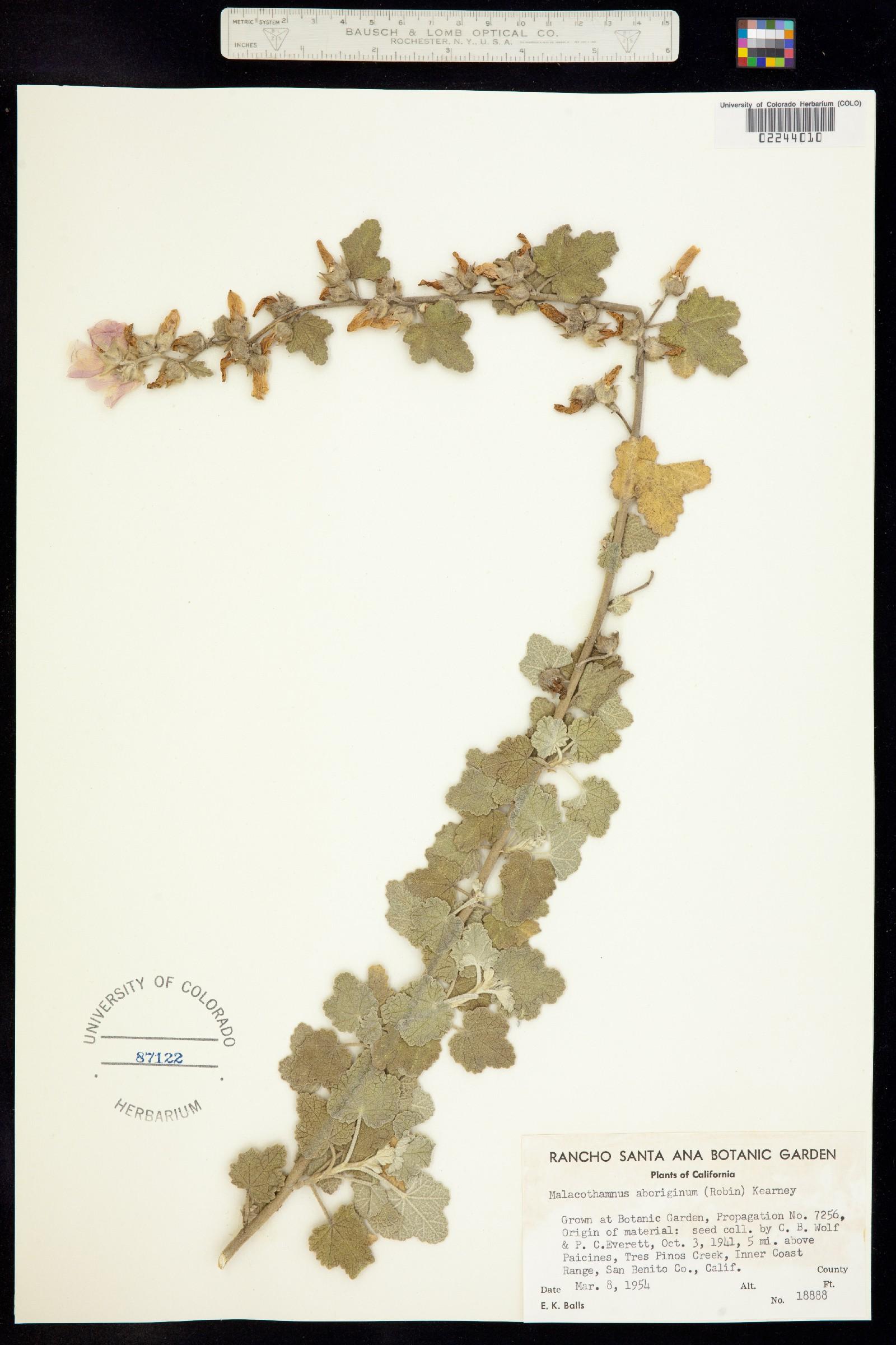 Malacothamnus image