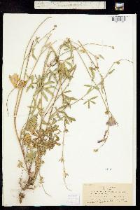 Image of Sidalcea glaucescens
