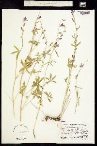 Sidalcea glaucescens image