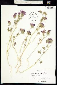 Sidalcea diploscypha image