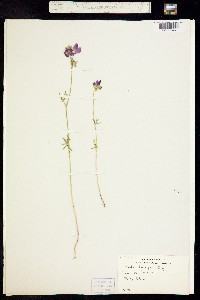 Image of Sidalcea hartwegii