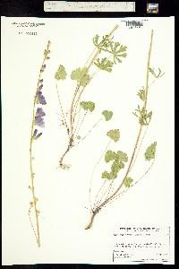 Image of Sidalcea malviflora