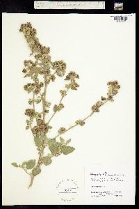 Image of Sida cordifolia