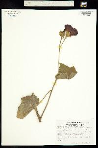 Phymosia umbellata image