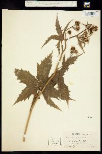 Image of Napaea dioica
