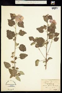Pavonia lasiopetala image