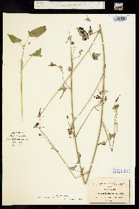 Image of Periptera punicea