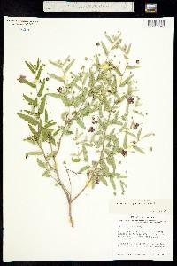 Meximalva filipes image