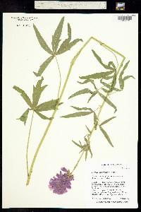 Image of Sidalcea cusickii