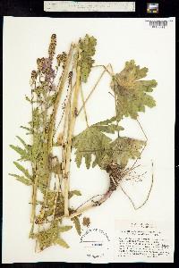 Sidalcea cusickii image