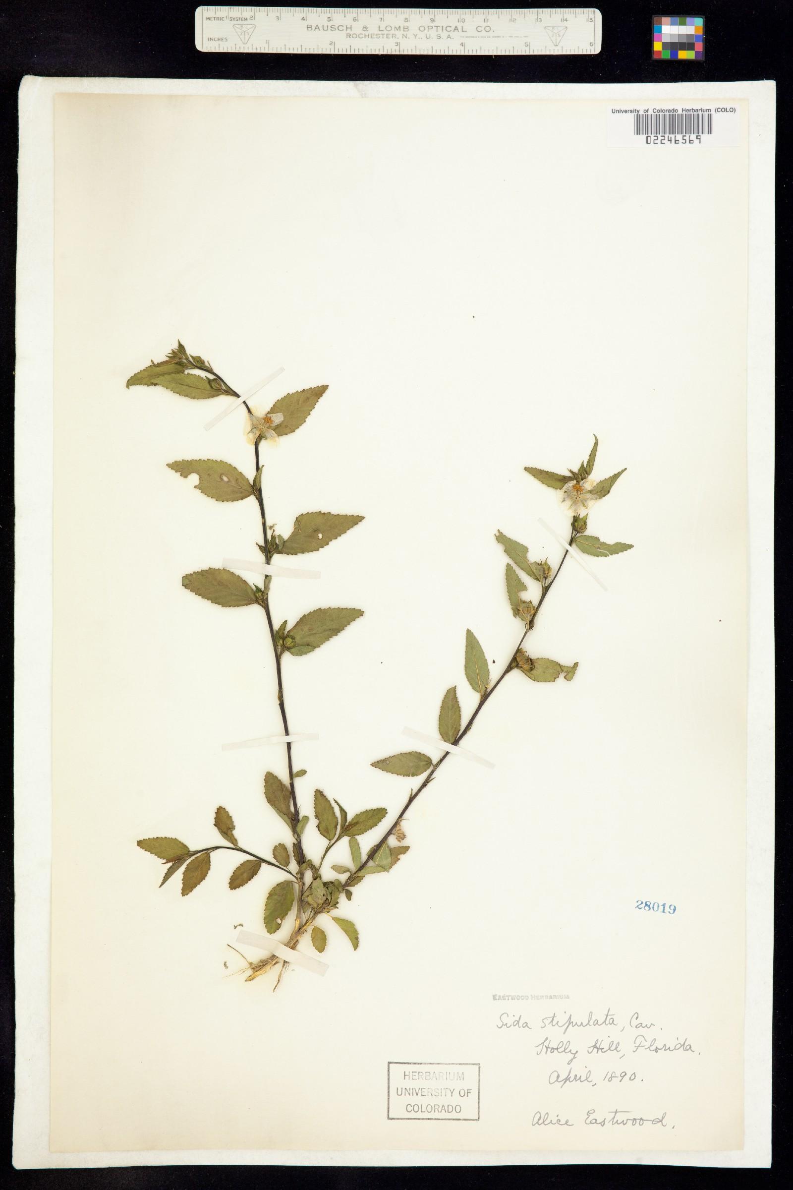 Sida ulmifolia image