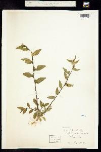 Image of Sida ulmifolia