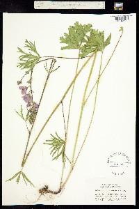 Sidalcea campestris image