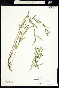 Image of Sida elliottii