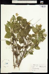 Image of Sida paniculata