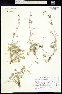 Image of Sidalcea multifida