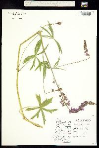 Image of Sidalcea nelsoniana