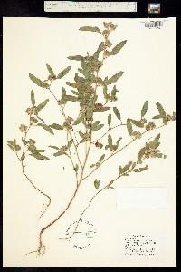 Image of Sphaeralcea angusta