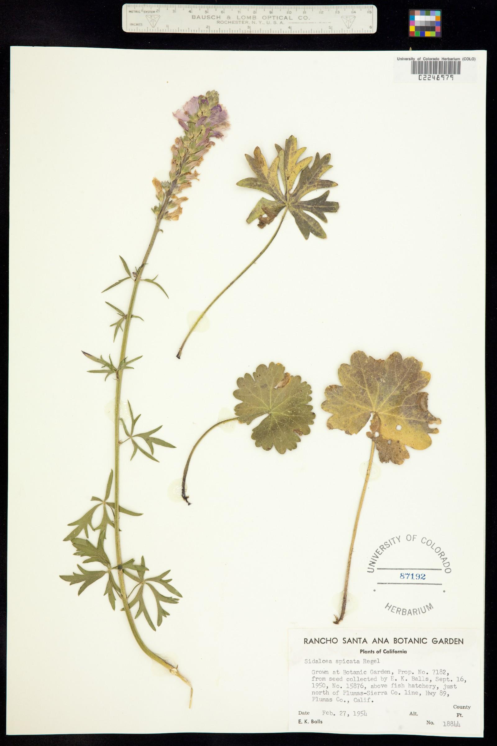 Sidalcea spicata image