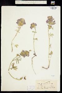 Image of Sidalcea hirsuta