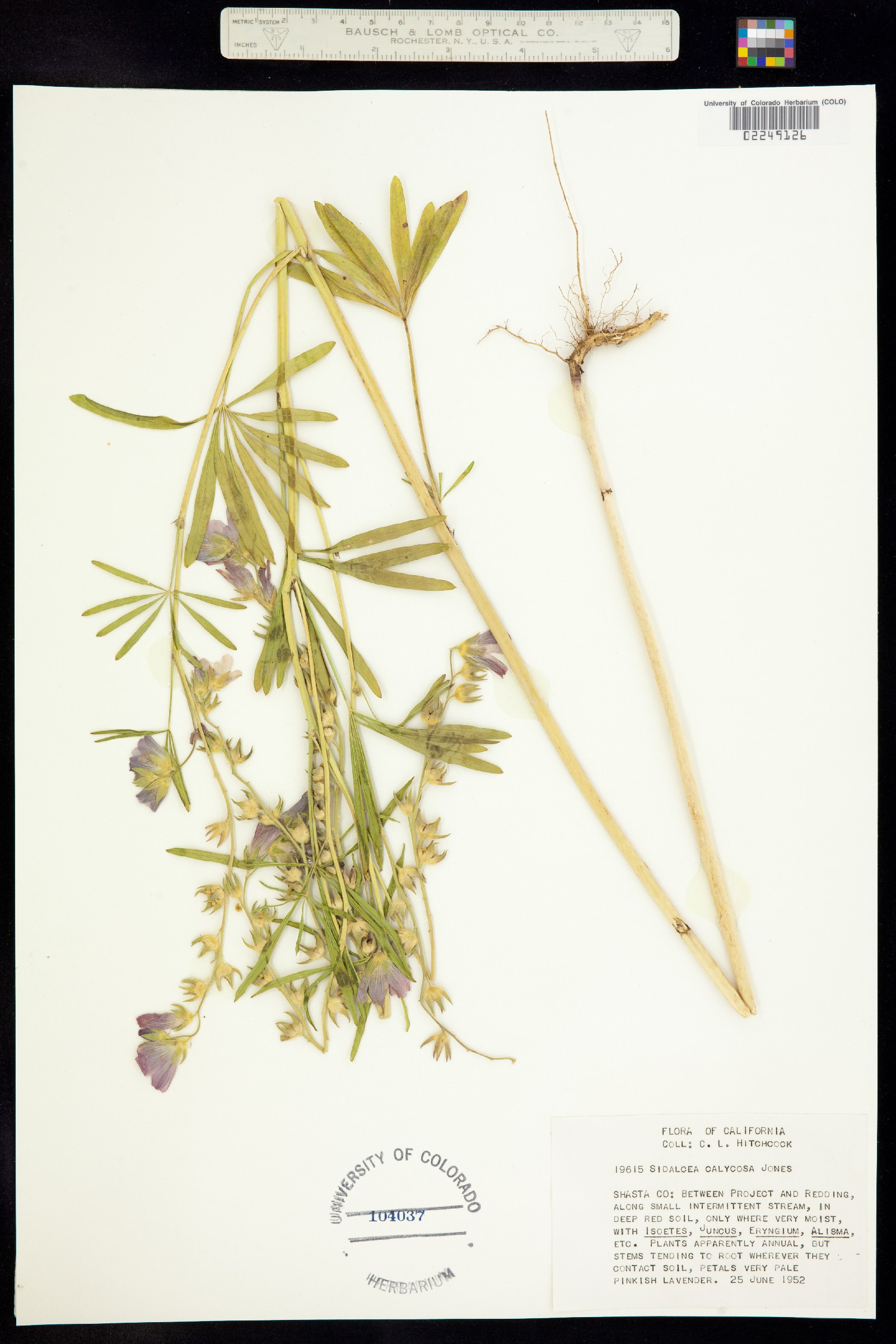 Sidalcea calycosa image
