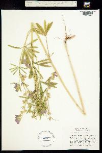 Image of Sidalcea calycosa